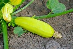 Fresh vegetable marrow Stock Image