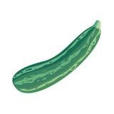 Fresh Vegetable Marrow. Oblong, Green Squash. Royalty Free Stock Photo