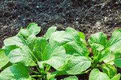 Fresh vegetable in plant garden Royalty Free Stock Photography