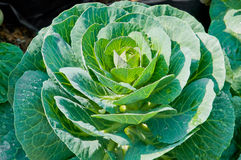 Fresh Vegetable plants in garden Stock Photography