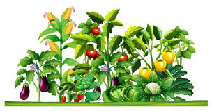 Fresh vegetable plants growing in the garden royalty free illustration