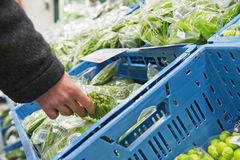 Fresh Vegetables. Hand, picking a cellophane packaging with fresh haricots verts from a blue crate inside the cooling of a large wholesale supermarket Stock Image