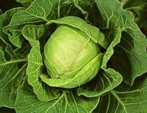 Fresh vegetables - cabbage in the garden. Fresh young green cabbage in the garden Royalty Free Stock Photo