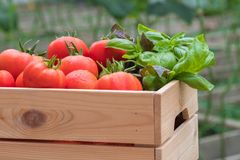 Fresh vegetables in crate in a greenhouse. Organic farm. stock images