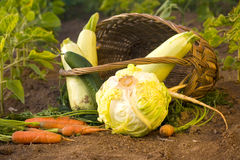 Fresh vegetables in the garden Stock Photography