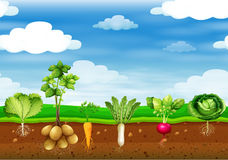 Fresh vegetables in the ground Royalty Free Stock Photo