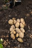 Young Yellow Potatoes On Agricultural Ground. Fresh Vegetables Potato. Young Ripe Yellow Potatoes On Agricultural Ground Top View Royalty Free Stock Photos