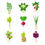 Fresh Vegetables With Roots Primitive Drawings Set Stock Image
