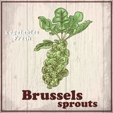 Fresh vegetables sketch background. Vintage hand drawing illustration of a Brussels sprouts Stock Photos