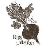 Fresh vegetables vector logo design template. ripe Royalty Free Stock Photography