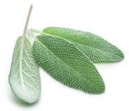 Fresh velvet leaves of garden sage on the white background. stock photo