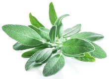 Fresh velvet leaves of garden sage on the white background. royalty free stock images