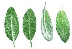 Fresh velvet leaves of garden sage on the white background stock photography
