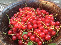 Fresh very red redcurrants in a cup harvestet in Germany royalty free stock photo