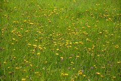 Fresh and vibrant, green summer meadow stock image