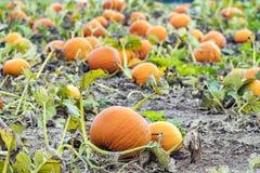 Fresh vibrant orange pumpkins lying in pumpkin patch field, read Royalty Free Stock Photo