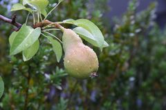 A Pear hanging from a tree after rain Royalty Free Stock Image