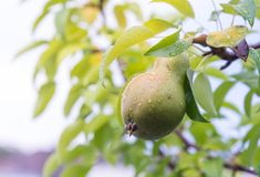 A Pear hanging from a tree after rain Royalty Free Stock Photography