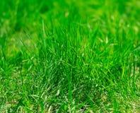 Fresh vibrant spring grass. Stock Image