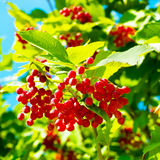 Fresh viburnum. Growing on a tree Royalty Free Stock Photography