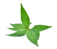 Fresh vietnamese mint leaves isolated on white background Royalty Free Stock Images