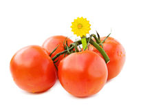 Fresh vine tomatoes on white. Fresh vine tomatoes with wooden flower clip isolated on white background Royalty Free Stock Photo