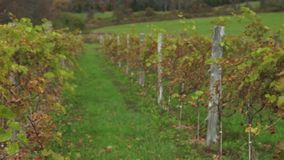 Fresh vineyard growing (6 of 9). A view or scene of Nature stock video footage