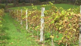 Fresh vineyard growing (5 of 9). A view or scene of Nature stock video footage