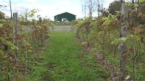 Fresh vineyard growing (9 of 9). A view or scene of Nature stock video footage