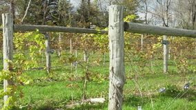 Fresh vineyard growing (1 of 9). A view or scene of Nature stock video