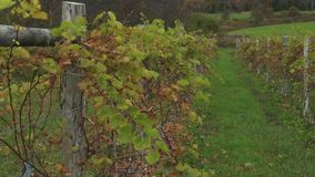 Fresh vineyard growing (4 of 9). A view or scene of Nature stock footage