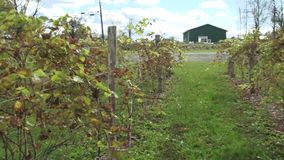 Fresh vineyard growing (3 of 9). A view or scene of Nature stock video footage