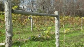 Fresh vineyard growing (7 of 9). A view or scene of Nature stock video footage