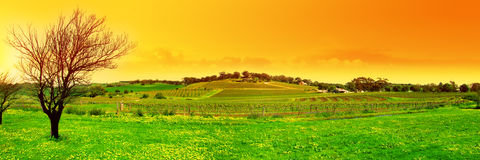 Fresh Vineyard Panoramic Royalty Free Stock Images