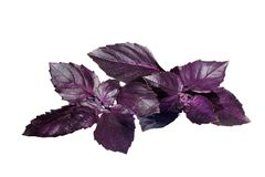 Fresh Violet Basil isolated on White Royalty Free Stock Photos