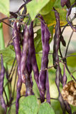 Fresh violet beans in the garden. stock photo