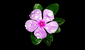 A fresh violet flower. A violet flower with leaves isolated on black beautified by the rain drops Stock Images