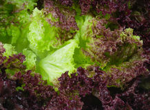 Fresh violet lettuce leaves. With water drops, close up Stock Photo