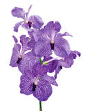 Fresh Violet Orchid Isolated on White Background Royalty Free Stock Photos