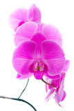 Fresh violet orchids Stock Photos
