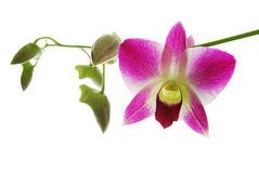 Fresh violet orchids Royalty Free Stock Photo