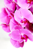 Fresh violet orchids Stock Photography