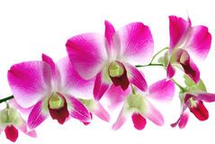 Fresh violet orchids isolated Royalty Free Stock Photography