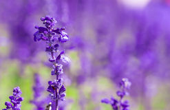 Fresh violet salvia flowers Stock Photography