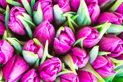Fresh violet tulips Stock Image