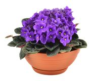 Fresh violets in pot Royalty Free Stock Photo