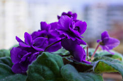 Fresh violets in pot Stock Photography