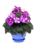 Fresh violets in pot. Beautiful flower pot of violets on a white background Royalty Free Stock Image
