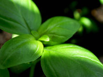 Fresh vivid basil Stock Images