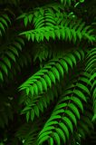 Green leaves background. Fresh vivid green leaves background Royalty Free Stock Photos